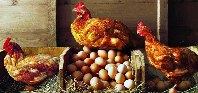 laying_hen