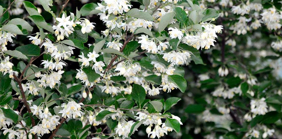 Styrax_officinalis